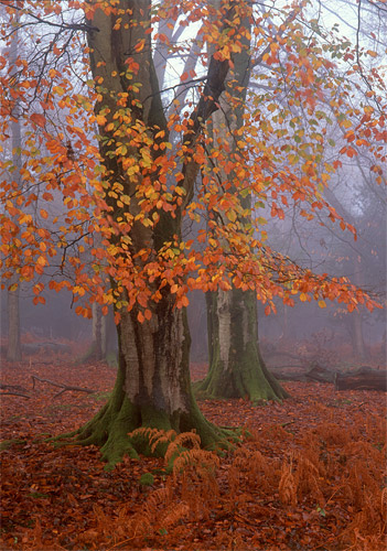 New Forest Landscapes : Autumn Beeches in Matley Wood