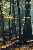 Backlit Beech Trees in Autumn 