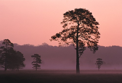 New Forest image: Trees on Beaulieu Heath at Dawn
