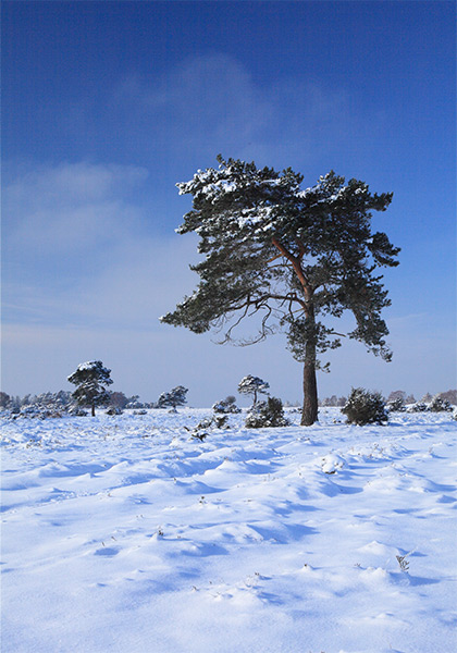 New Forest image: Snow on Beaulieu Heath