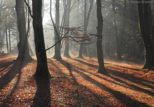 New Forest Landscapes : Beeches and Shadows