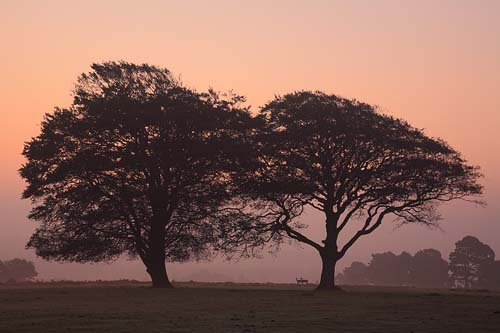 New Forest Landscapes : Deer and Beech Trees at Dawn