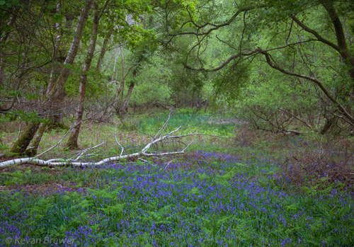 New Forest Landscapes : Bluebells in Roydon Woods