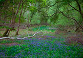 Bluebells in Roydon Woods 