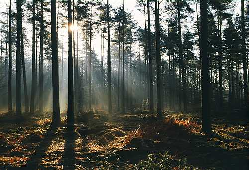 About The New Forest : Sunrays in conifer plantation