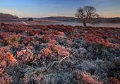 Frosty Heathland at Fritham Cross 