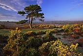 Gorse at Bratley View 