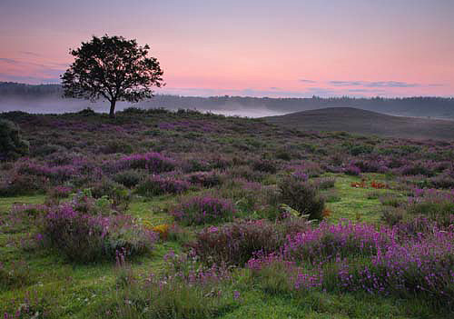 New Forest image: Bell Heather on Hasley Hill