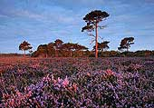 Heather and Pine Trees near Hill Top 