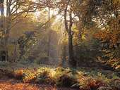 Sun-rays in Mark Ash Wood in Autumn 