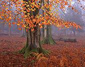 Beech Trees in late Autumn at Matley Wood  