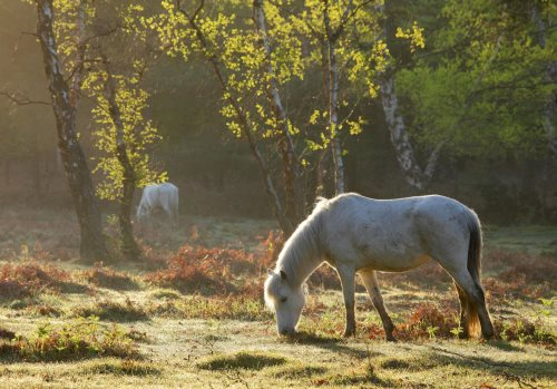 New Forest image: Grazing Ponies at Park Hill