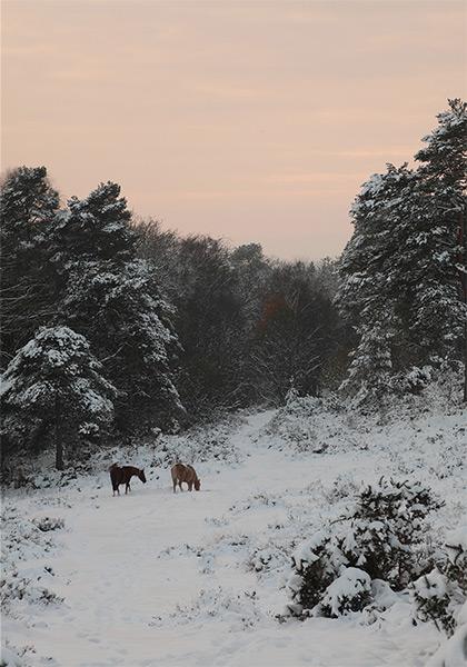 New Forest image: Ponies in the Snow at Crabhat Inclosure