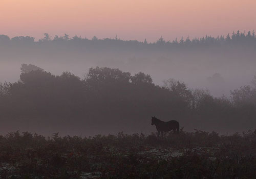 New Forest image: Pony at Dawn near Fritham Cross