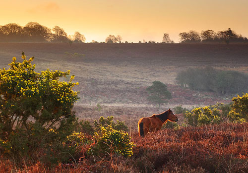 New Forest image: Pony at Fox Hill