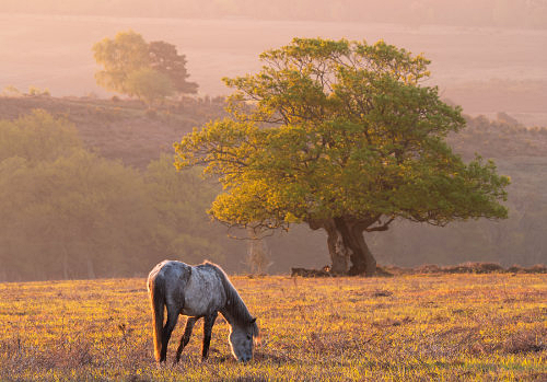 New Forest image: Grazing Pony at Fritham Cross