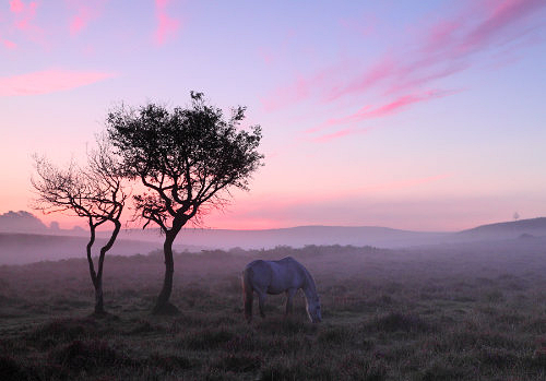 New Forest image: Pony at Dawn, Latchmore Bottom