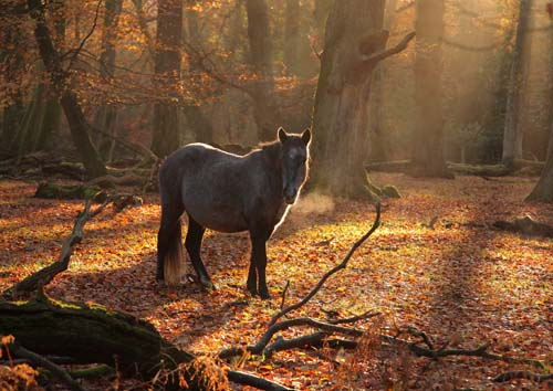 New Forest Ponies : Pony in Misty Autumn Woodland