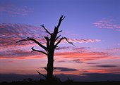 Dead Tree near Wilverley at Sunset 