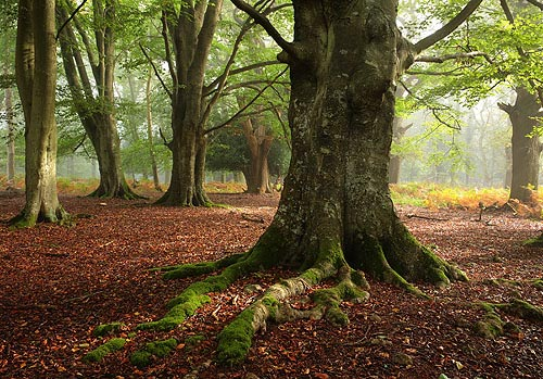 Beech Trees in Matley Wood.