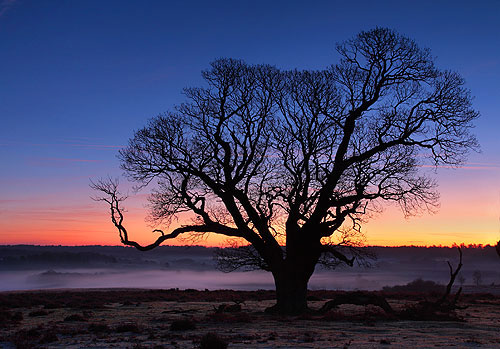 Winter Oak at Mogshade Hill.