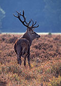 Back-lit Red Deer Stag (Cervus elaphus) 