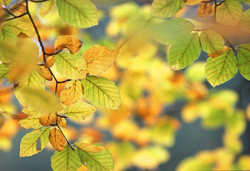 About The New Forest : Autumn Beech Leaves