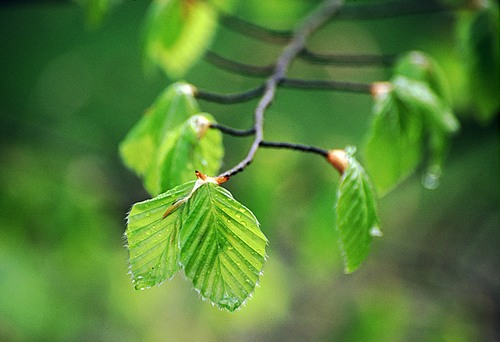 Nature in the New Forest : Spring Beech Leaves (Fagus sylvatica)
