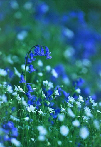 Nature in the New Forest : Bluebells and Greater Stitchwort
