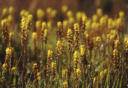 Nature in the New Forest : Bog Asphodel (Narthecium ossifragum)