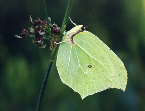 Nature in the New Forest : Brimstone butterfly (Gonepteryx rhamni)