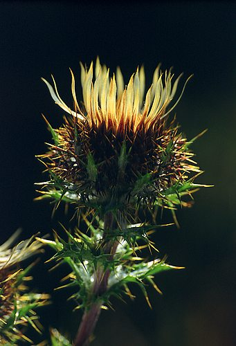 Nature in the New Forest : Carline Thistle (Carlina vulgaris)