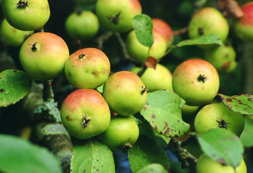 Nature in the New Forest : Ripe Crab Apples (Malus sylvestris)