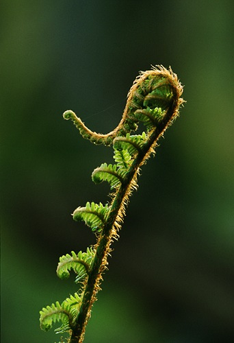 Nature in the New Forest : Unfurling Male Fern (Dryopteris filix-mas)