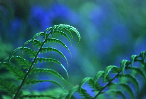 Nature in the New Forest : Fern fronds and bluebells