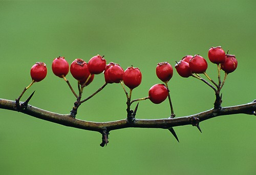 Nature in the New Forest : Hawthorn Berries (Crategus monogyna)