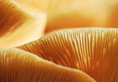 Honey Fungus Close-up (Armillaria mellea) 