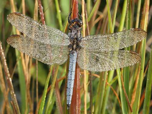 Nature in the New Forest : Keeled Skimmer (Orthetrum coerulescens)