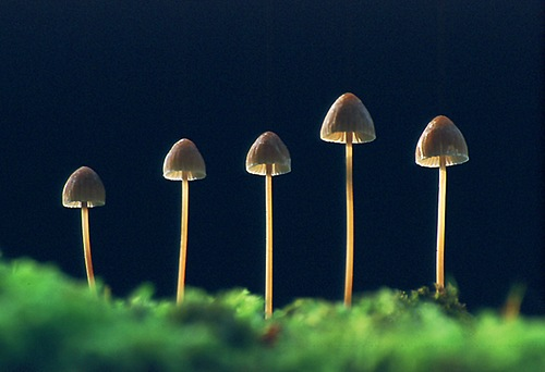 Nature in the New Forest : Mycena Fungi