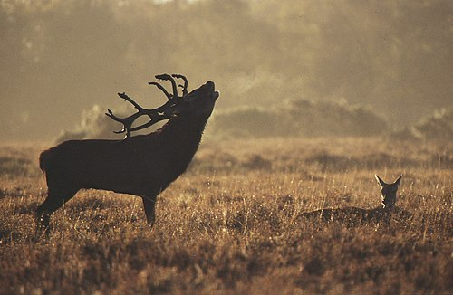 About The New Forest : Red Deer Stag (Cervus elaphus)