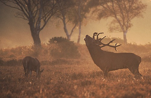 Red Deer Stag and Hind (Cervus elaphus).