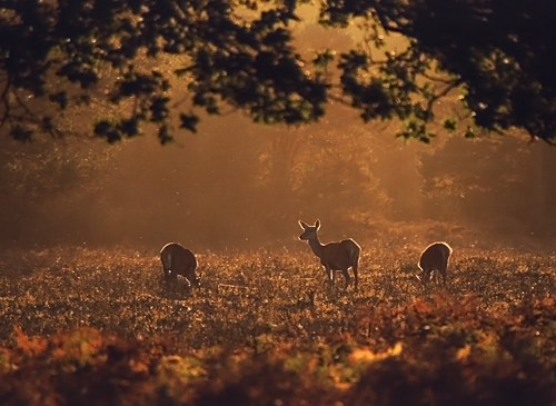Nature in the New Forest : Red deer hinds in evening light
