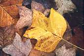 Wet Tulip Tree Leaves (Liriodendron tulipifera) 