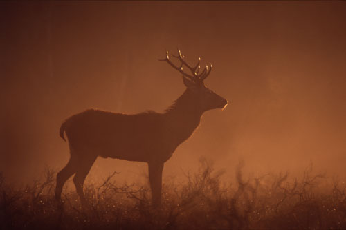 Nature in the New Forest : Young Stag in the Morning Mist