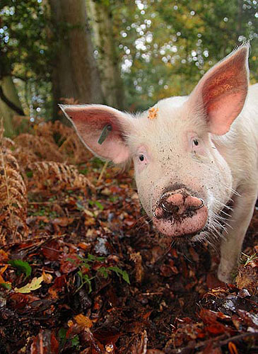 New Forest image: Inquisitive Pig in Bolderwood
