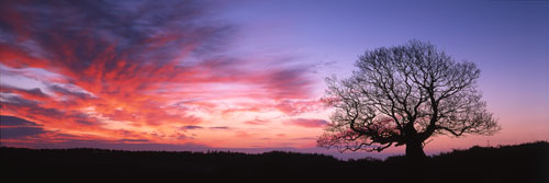 Panoramic Images of the New Forest : Solitary Oak at Sunrise