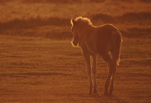 New Forest Ponies : Back-lit New Forest Foal