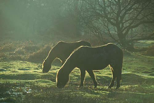 New Forest Ponies : Back-lit New Forest Ponies Grazing