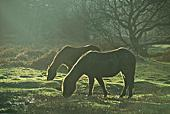Back-lit New Forest Ponies Grazing 