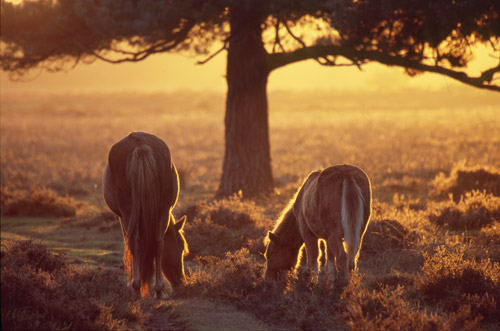 New Forest Ponies : Ponies Grazing by a Pine Tree